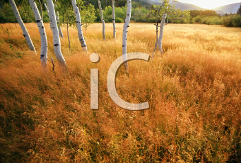 Royalty Free Photo of Aspen Trees in a Golden Meadow -  Panoramic Scenic Landscape