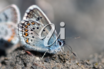 blue argus butterfly