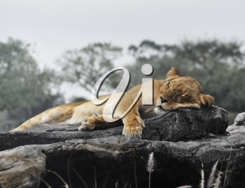 Royalty Free Photo of a Sleeping Female Lion