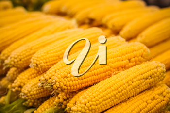 Fresh yellow corn pile on the local market. Crop Background