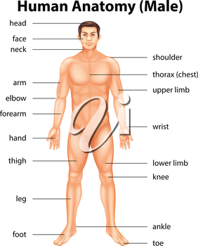 Illustration of human body parts