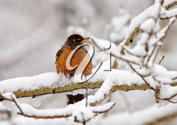 Robin on snow covered branch
